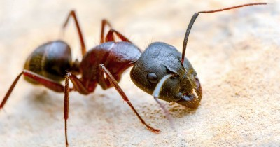 20 Fakta Semut yang Jarang Diketahui Manusia