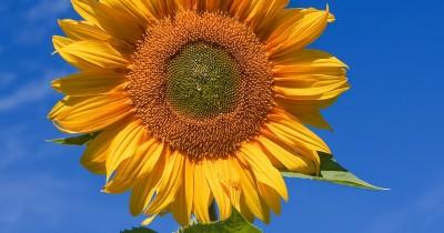 20 Fakta Bunga Matahari yang Unik dan Menarik
