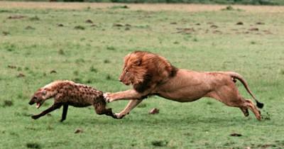 14 Fakta Hyena Hewan Licik yang Malas Berburu Musuh Bebuyutan Singa
